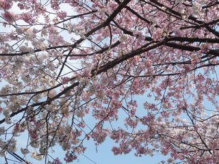 桜_東川3_桜