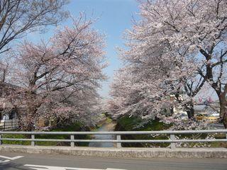 桜_東川4_橋