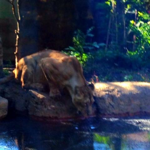 上野のライオン1