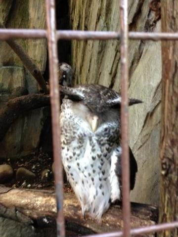 上野動物園のみみずく