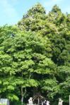 木の上の藤の花