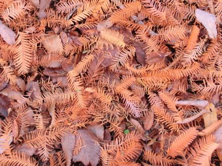 メタセコイア落ち葉