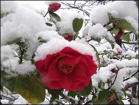 雪とさざんか.jpg