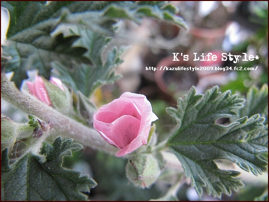 ハーブの花も咲きはじめた.jpg