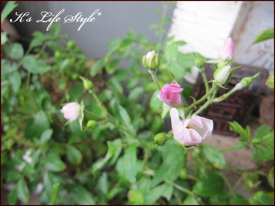 小さなバラ.jpg