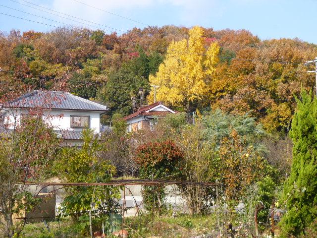 低山の雑木林は樹種がバラバラなのでいろんな色になるのがいいですよね
