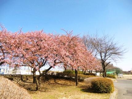 敷島公園の河津桜1