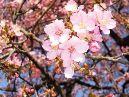 敷島公園の河津桜2