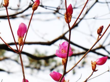 咲き始めたばかりでした、石尊山で