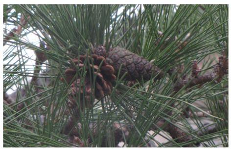 pineseed.jpg
