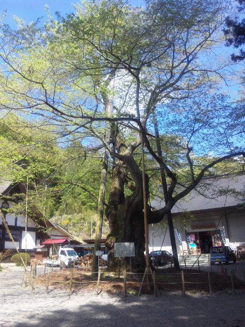 吉澄萠桜(よしすむめさくら)