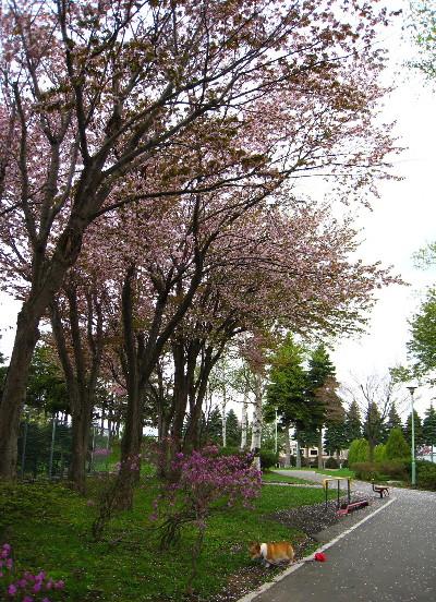 公園入り口桜とケティ