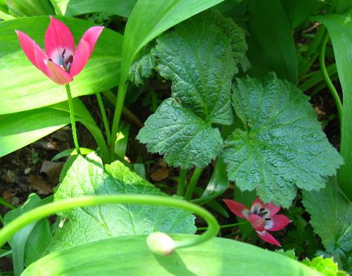 チューリップ赤小花