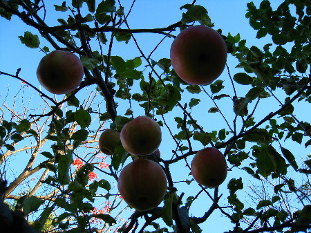 りんごの木庭側下から@45