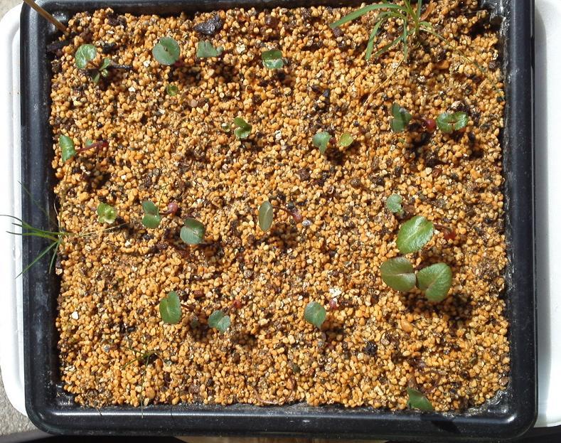 種まきシクラメン、3月 (2)