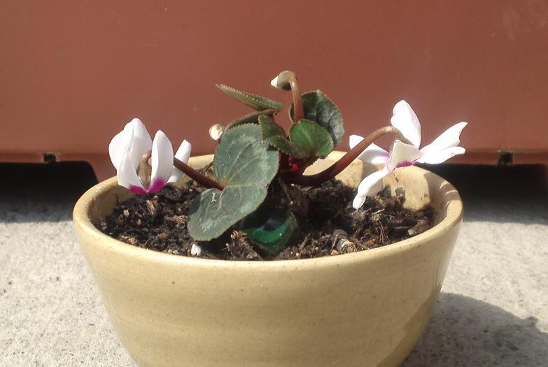 初咲きシクラメン、白