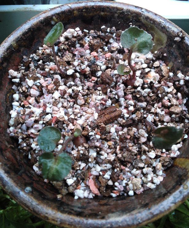 種まきシクラメン・植え替え (5)
