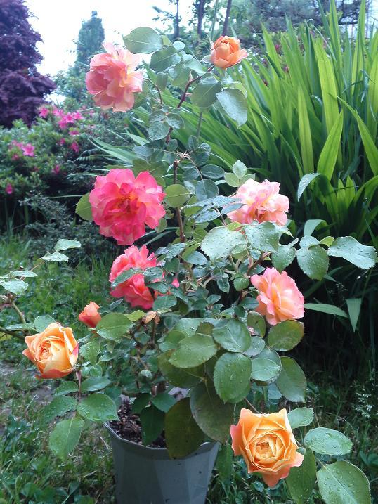 アンネのバラ・変化