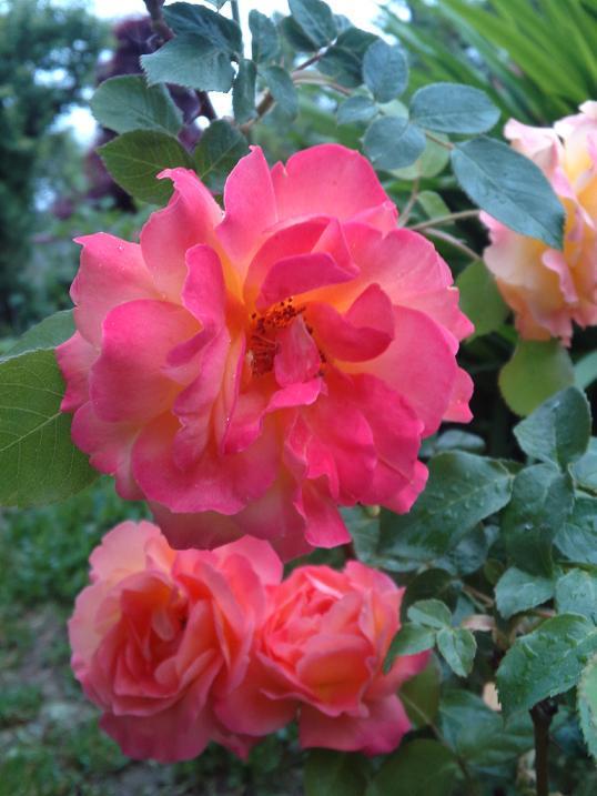 アンネのバラ・変化 (2)