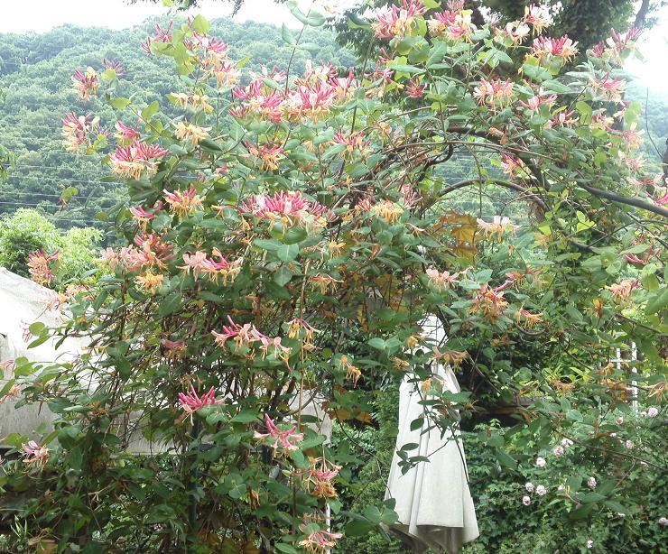 ミセスYOKOの庭 (86)