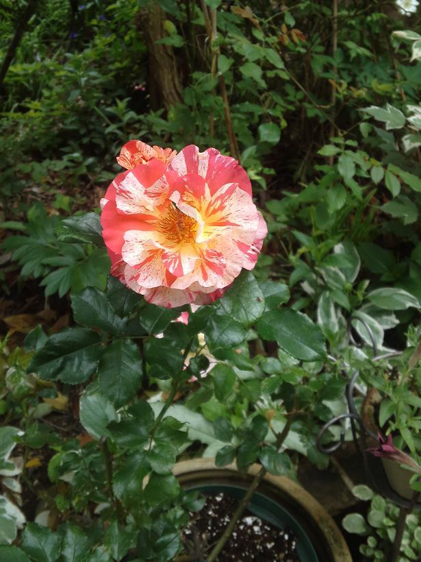 ミセスYOKOの庭 (90)