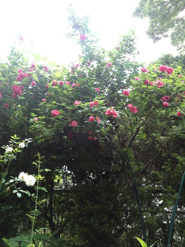 ミセスYOKOの庭 (11)