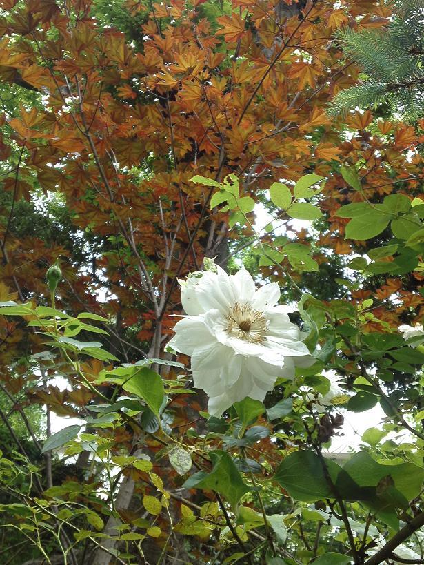 ミセスYOKOの庭 (30)