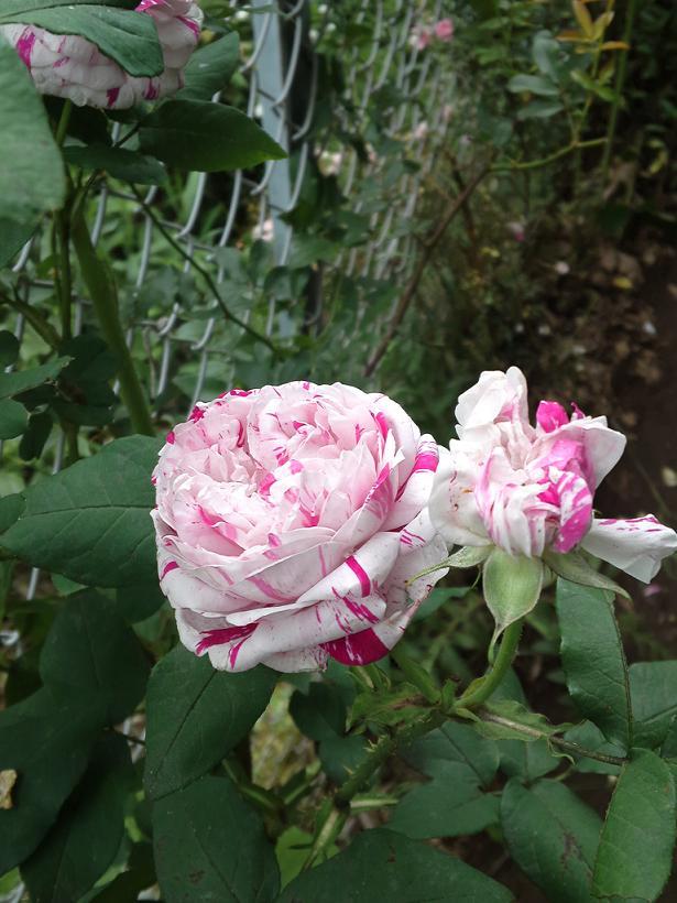ミセスYOKOの庭 (55)