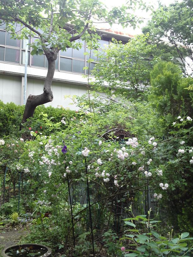 ミセスYOKOの庭 (61)