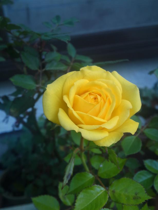 ミニバラ・黄色 (2)