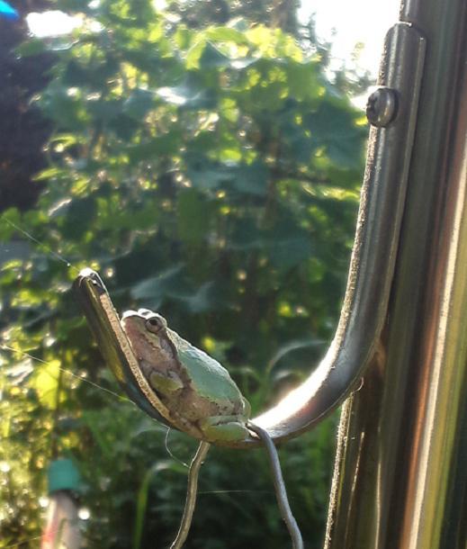 庭のカエル