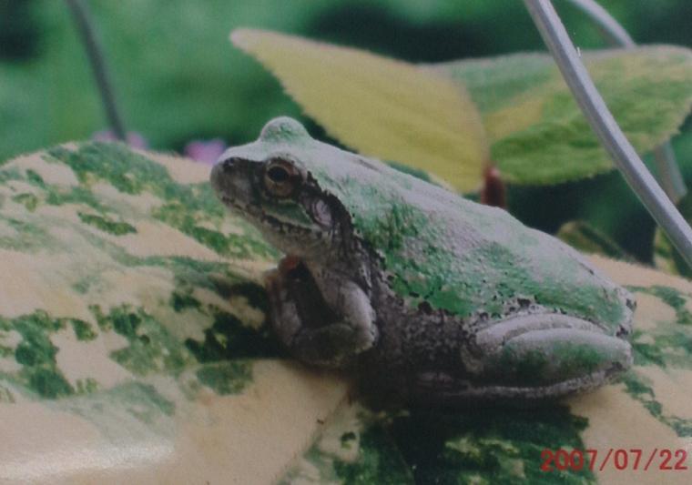 カエルたち (2)