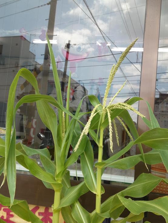 夏の野菜たち (5)