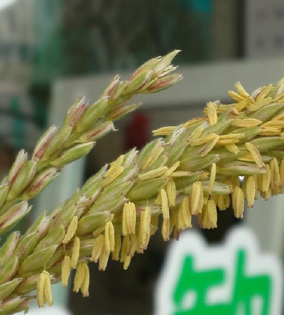 モチモロコシ開花 (2)