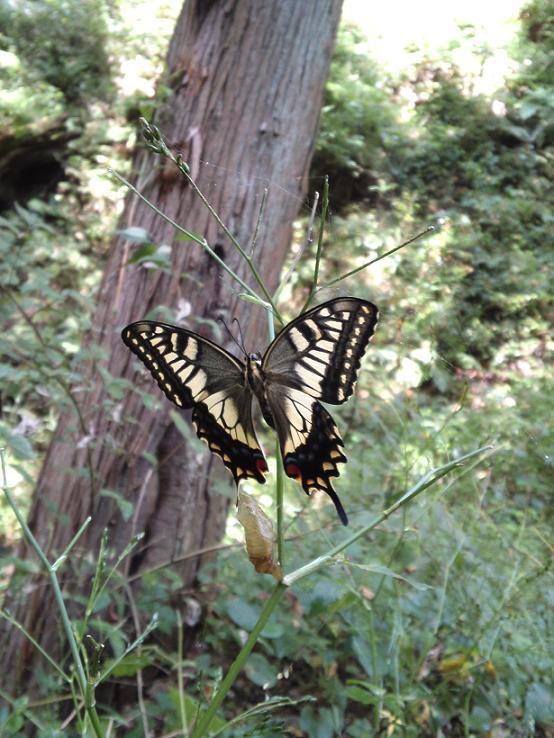 アゲハ蝶の羽化