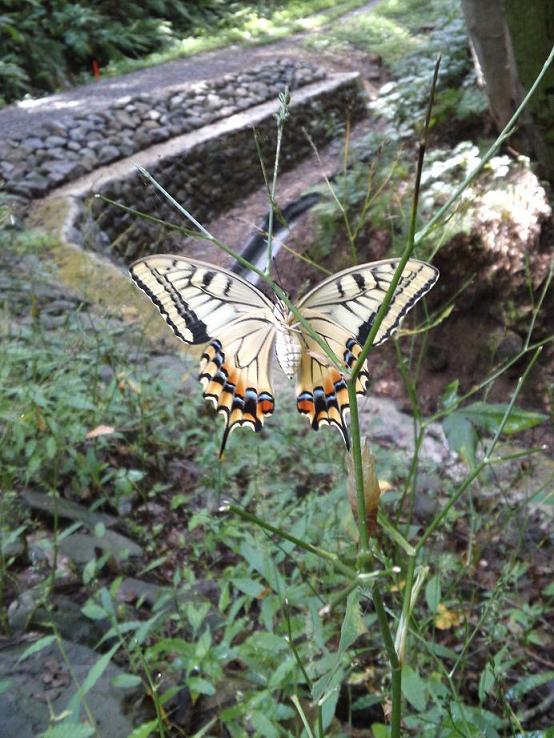アゲハ蝶の羽化 (2)