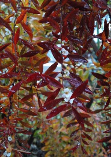 秋のユキヤナギ (1)