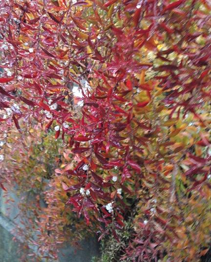 秋のユキヤナギ (2)