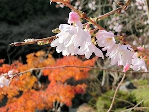 四季桜(十月桜)