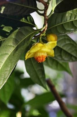 キンカチャ130119神代植物公園 (7)S済