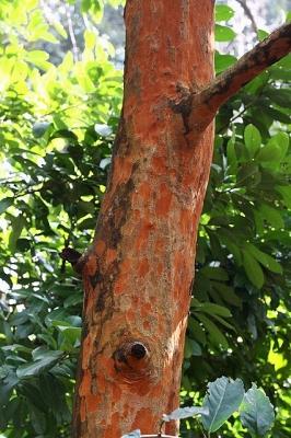 バクチノキ130207神代植物公園 (6)S済