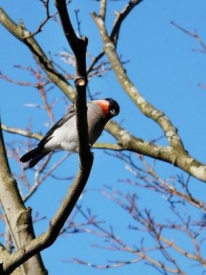 鳥ウソ♂130118昭和記念公園 (4)S済