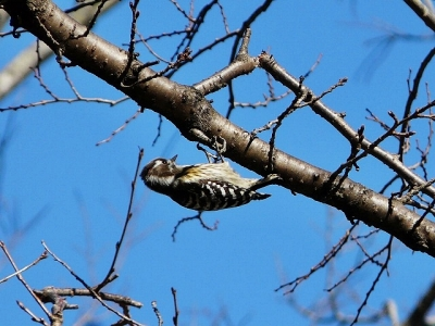 鳥コゲラ130118昭和記念公園 (6)S済