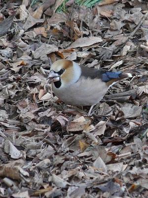 鳥シメ130125野川公園 (14)S済