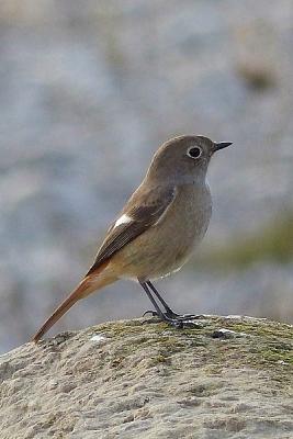 鳥ジョウビタキ♀131217多摩川昭島 (6)T済、S済