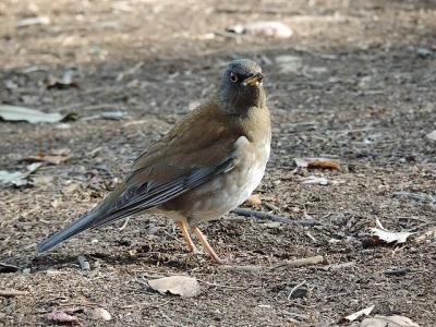 鳥シロハラ130228昭和記念公園 (16)S済