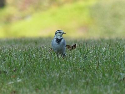 鳥ハクセキレイ131117神代植物公園 (12)S済