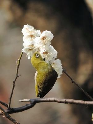 鳥メジロ②130226府中市郷土の森 (31)S済