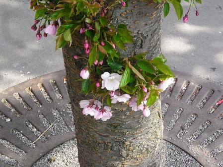 ストックホルム桜06
