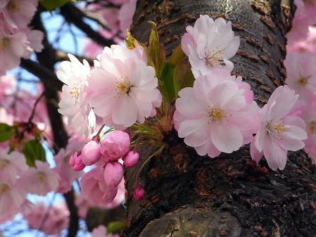 ストックホルム桜07